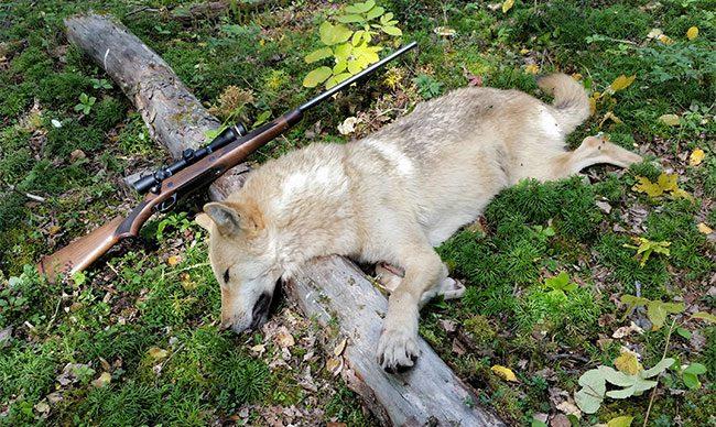 Timberwolf Hunt All Terrain Bear Hunts And Johnson Road